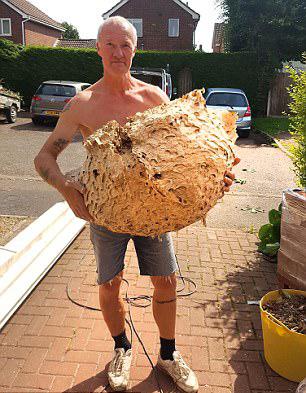 有惊无险!英国建筑工人民宅内发现巨型空黄蜂巢