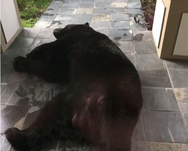 不速之客!美国一黑熊为躲雨睡在居民家门口