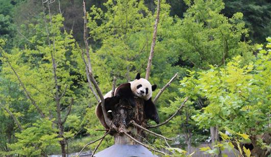 九寨沟地震后 卧龙大熊猫安然无恙