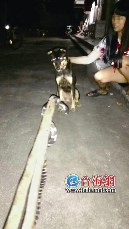 狗狗与毒蛇对峙 不忘向主人示警