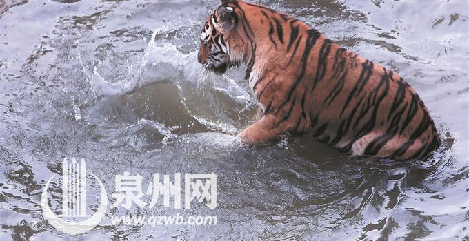 泉州连日高温天 各动物园里动物避暑萌态可掬