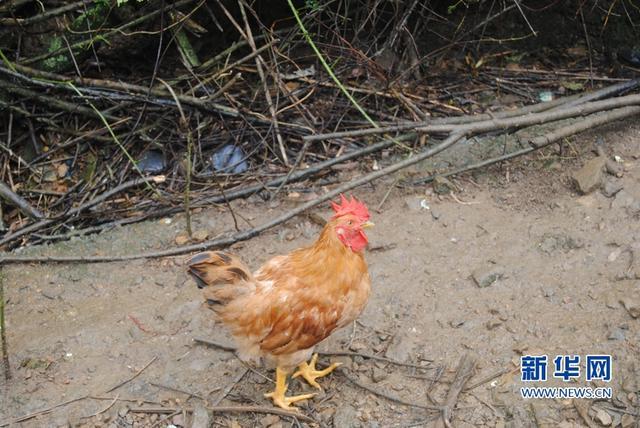 龙岩这地方的鸡被列为国际第2名鸡 农民发家致富