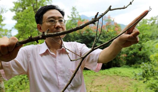 """世界最长昆虫""""中国巨竹节"""" 竟跟手臂一样长"""
