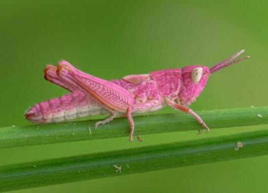 英格兰湖边惊现罕见粉色蚱蜢 白眼粉体格外吸睛