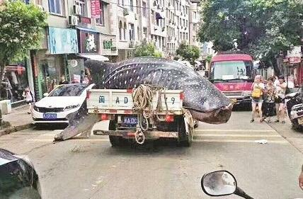 """霞浦三沙渔民捕获大鲸鲨?知情人:肉发臭只好""""倒掉"""""""
