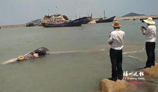 ca88亚洲城手机版下载_6米长2吨重鲸鲨误入渔网 众人营救引入深海放生