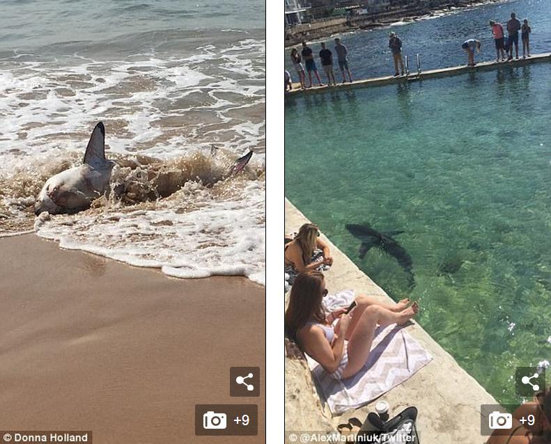 凶残大白鲨莫名被冲上悉尼沙滩 游客落荒而逃