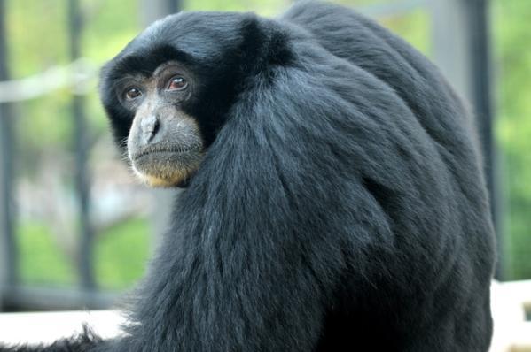 ca88亚洲城手机版下载_日动物园一猴子叫声酷似大叔 声音可传两公里外