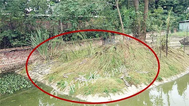 四川南部县78条鳄鱼出逃5条下落不明,当地政府回应