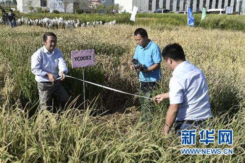 """我国高产""""海水稻""""试种成功 盐碱地有望成米粮仓"""