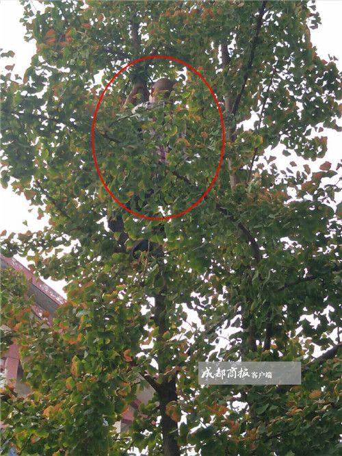 6旬大爷身手矫健爬上10米高银杏树 救下被困猫咪