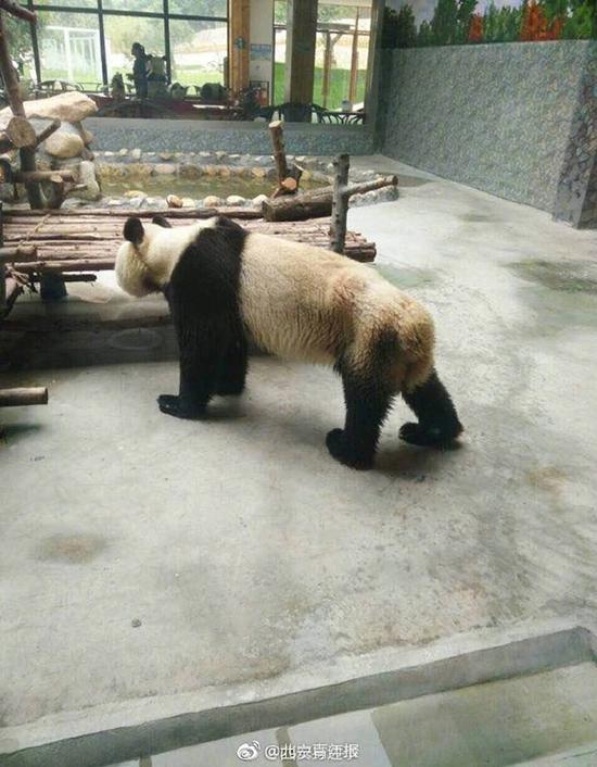 西安秦岭野生动物园一大熊猫瘦得皮包骨 园方:得了牙髓炎