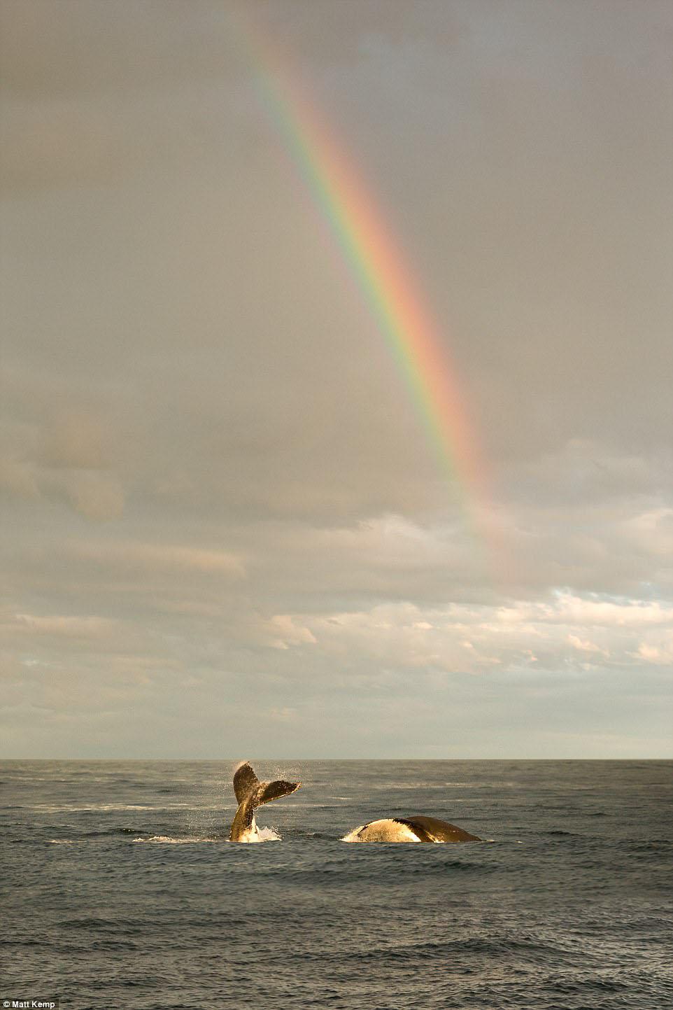 彩虹与生灵同辉!日落时在悉尼港口嬉戏的鲸鱼