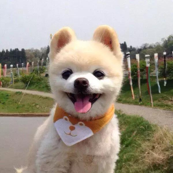 日本网红狗俊介去世,一定是它太可爱了,所以上帝带走了它
