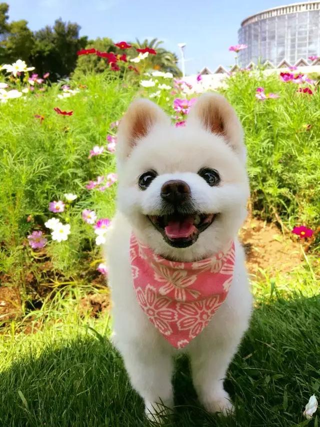 日本网红狗俊介去世,一定是它太可爱了,所以上帝带走