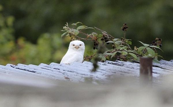 罕见!英摄影师拍到自然纯白色猫头鹰似凡间精灵