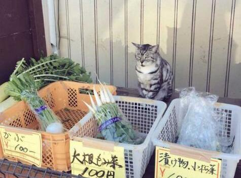 日本无人蔬菜摊现呆萌猫店员!工作有模有样被评价:好可爱