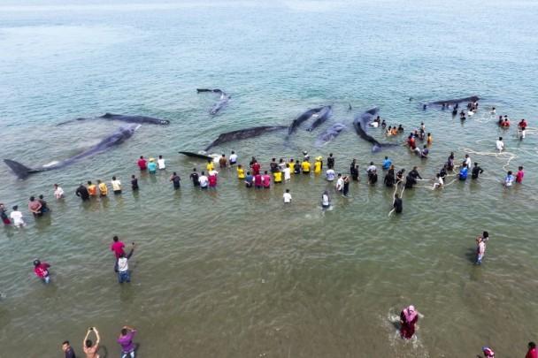 印尼12头抹香鲸搁浅民众施救 鲸鱼为何会搁浅?