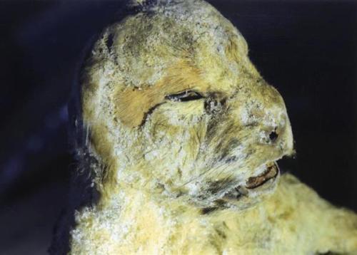 日俄团队在西伯利亚发现已灭绝达万年的狮子宝宝