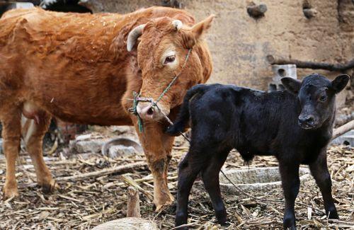 """改良土种牛产下的""""混血""""安格斯小牛"""