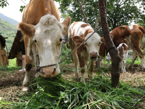 """牛""""宝宝""""和牛妈妈正在吃草"""