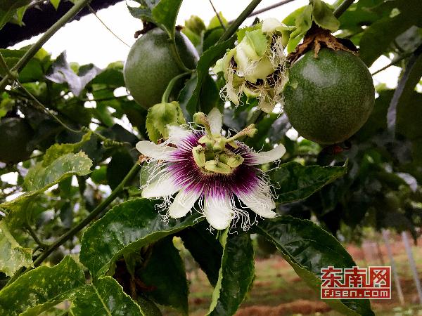 三明将乐县引进现代农业发展企业 促进农户增收