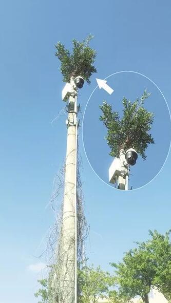 漳浦这棵榕树 竟然长到10米高电线杆顶