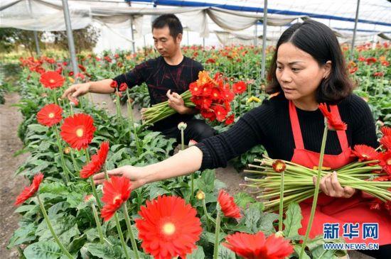 ca88亚洲城手机版下载_ca88亚洲城手机版下载龙岩连城:温室鲜切花 花开致富路