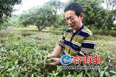 残疾不怕难 漳州46岁阿伯创业办茶厂