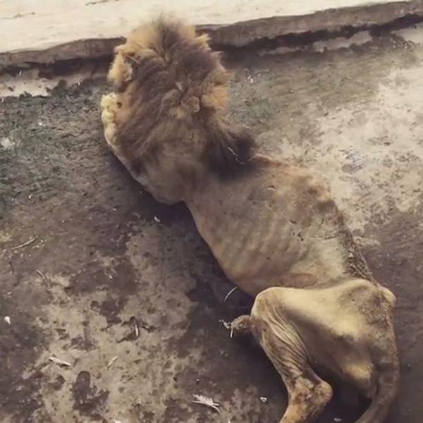 孟加拉国老狮子骨瘦如柴 动物园无力让其安乐死
