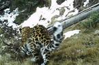 监测显示澜沧江源头地区成金钱豹重要栖息地