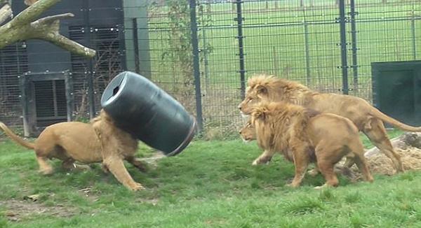 荷兰雄狮为觅食头卡在大桶内 惊慌失措囧态百出