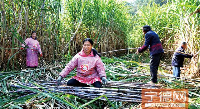 福安市溪潭镇重视农业品种改良 高优甘蔗好增收