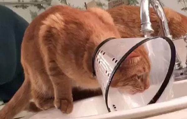 滑稽!美国虎斑猫脖戴保护罩在水龙头下竭力喝水