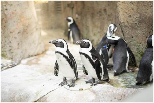 加拿大跨年夜降温至-25℃ 动物园紧急更换企鹅住所