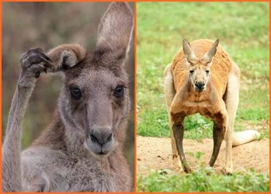 澳大利亚数百万只袋鼠神秘死亡 或感染疾病所致