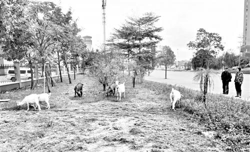 福州荆溪大道依姆绿化带放羊