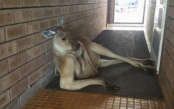 悍兽萌化!澳大利亚一袋鼠厕所门口摆妖娆姿势