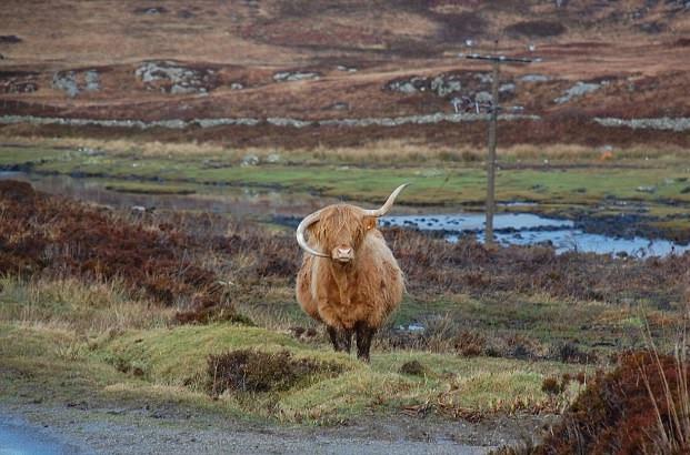 神奇!苏格兰一高原母牛牛角倒长酷似蓝牙耳机