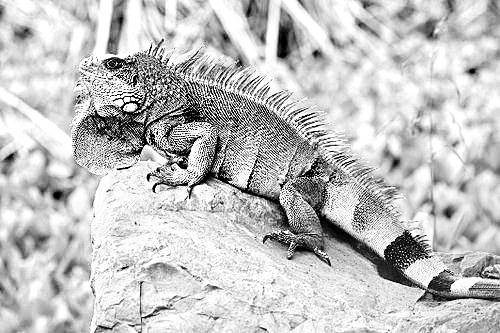 美洲绿鬣蜥 来福州安家 是我国首次从美国引进该物种