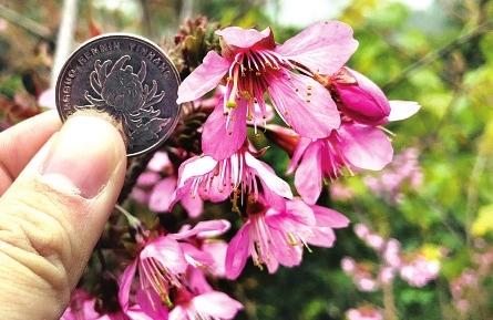 """""""网红""""山樱花大如硬币 正在福州金鸡山盛放"""