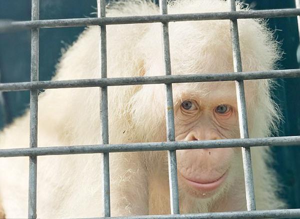 罕见!全球唯一一只白化猩猩将搬人造岛免猎杀