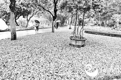 """3万株虞美人福州西湖公园安家 罕见蝴蝶兰""""孔雀""""和牡丹花将亮相"""