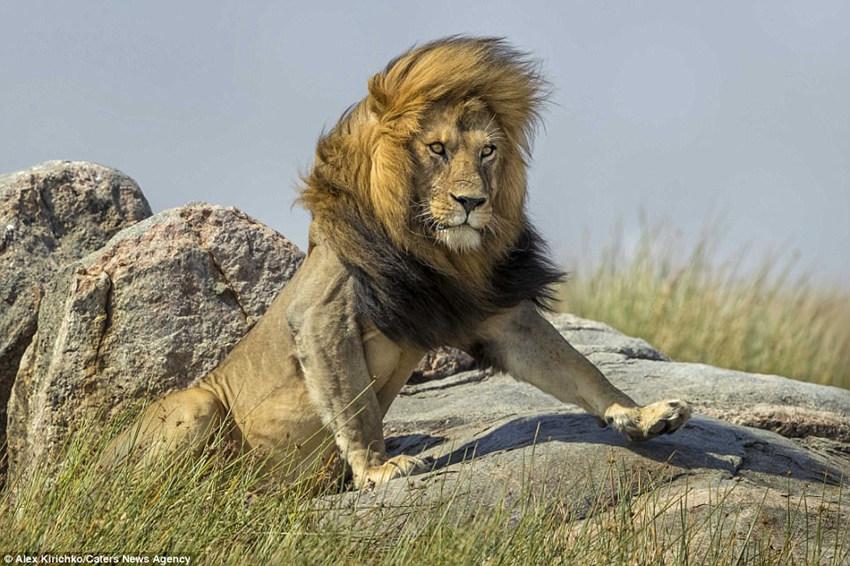 非洲雄狮镜头前霸气耍帅 宛如拍摄时尚大片