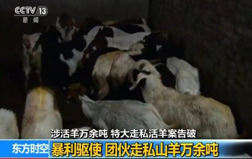 上万吨活羊被走私,他们牟取了暴利,危害了你的健康!