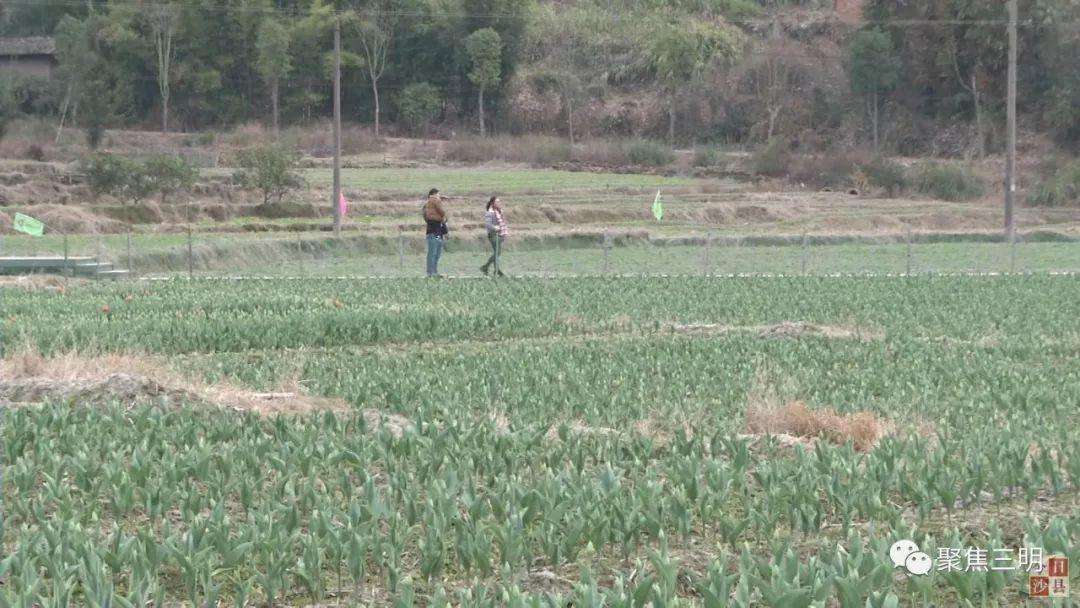 春节好去处!三明沙县湿地公园10亩郁金香含苞待放