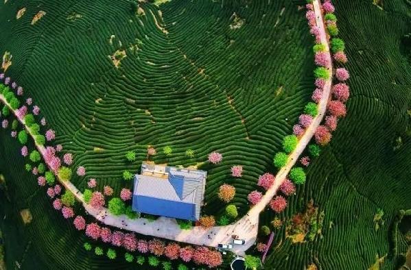 龙岩漳平:十万株樱花盛开,美不胜收