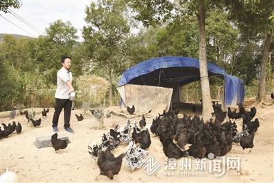 """漳州诏安县:90后""""鸡倌""""和他的""""黑美人"""""""