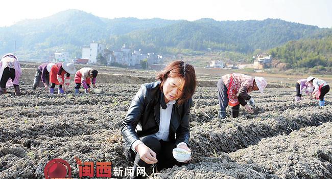 龙岩武平县叶坑村种田女能手带领农民工种田致富