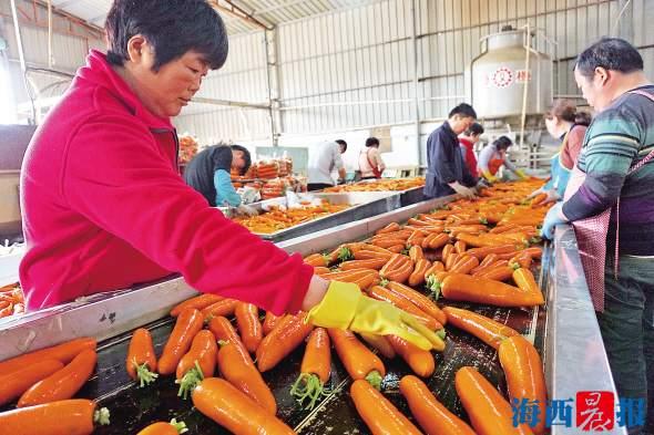 产量高价格好 厦门翔安胡萝卜进入密集采收期